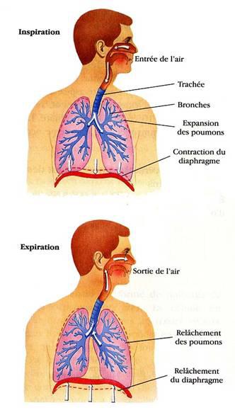 Dessin de l'appareil respiratoire humain